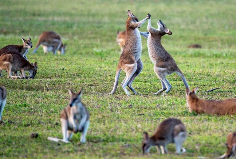 kangaroos-fighting